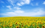 sunflower-landscape